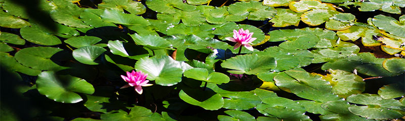 Barrel garden pond care maintenance for Garden pond care
